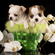 Chihuahua puppies — Stock Photo #20756185