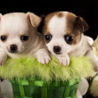 Chihuahupuppies — Stock Photo #20756323