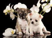 Chihuahua puppies — Stock Photo