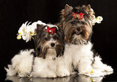 Tvo biewer Yorkshire terrier puppies — Stock Photo