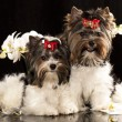 Biewer Yorkshire terrier — Foto de Stock