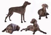 Weimaraner dog — Stock Photo