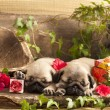 Pug puppy - Photo