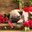 Stock Photo: Puppy pug