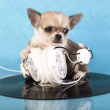 Puppy chihuahua — Stock Photo #22090661