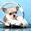Chihuahumusic lover — Stock Photo #22090689
