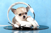 Chihuahua music lover — Stock Photo