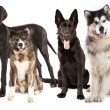 Group of dogs — Stock Photo #24476773