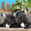 图库照片: French bulldog puppies