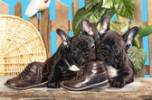 French bulldog puppies — Stock Photo