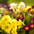 Primrose on a bed — Stock Photo