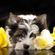 Beaver Yorkshire Terrier and flowers narcissus — Foto de Stock