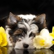Beaver Yorkshire Terrier and flowers narcissus — Стоковая фотография