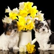 Beaver Yorkshire Terrier and flowers narcissus — Stok fotoğraf