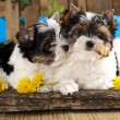 Stock Photo: Beaver Yorkshire Terrier and flowers narcissus