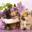 Spitz puppy and flowers  lilac — 图库照片
