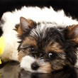 Puppies Beaver Yorkshire Terrier — 图库照片