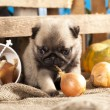 Pug puppy — Stock Photo #27069121