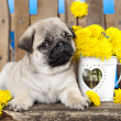 Pug puppy — Stock Photo #27069191