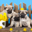 Pug puppy — Stock Photo #27069341