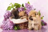 Spitz puppy and flowers lilac — Stock Photo