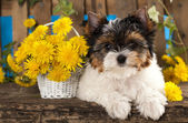 Puppies Beaver Yorkshire Terrier — Stock Photo