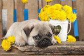 Pug puppy — Stock Photo