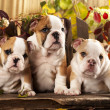 Stock Photo: English bulldogs and pumpkin