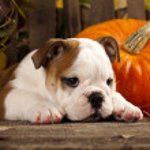 English bulldogs and a pumpkin — Stock Photo #31214411
