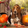 Basset Hound — Stock Photo #31214469