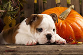English bulldogs and a pumpkin — Stock Photo