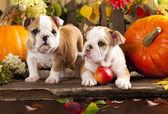 English bulldogs and a pumpkin — Stock Photo