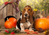 Basset Hound — Stock Photo