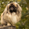 Adult Pekingese posing on a nature background — Stock Photo