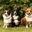 Three Welsh Corgi Pembroke dogs sitting on the grass — Stock Photo