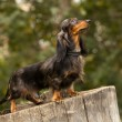 Stock Photo: Portrait of dog breed long haired dachshund
