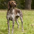 Stock Photo: GermShorthaired Pointer