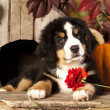 Stock Photo: Bernese Mountain Dog puppy portrait in garden