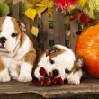 Stock Photo: English bulldog puppies and pumpkin