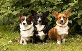 Three Welsh Corgi Pembroke dogs sitting on the grass — Stockfoto