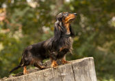 Portrait of dog breed long haired dachshund — Stock Photo