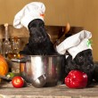 Scotch terrier  cook puppies — Stock Photo