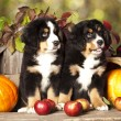 Stock Photo: Bernese Mountain Dog puppy