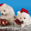Christmas  puppies white Pomeranian  Spitz wearing a santa hat — Foto Stock