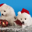 Christmas  puppies white Pomeranian  Spitz wearing a santa hat — Stock fotografie