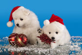 Christmas puppies white Pomeranian Spitz wearing a santa hat — Stock Photo