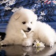Bitch and puppies Japanese Spitz — Stock Photo #33460255