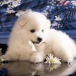 Bitch and puppies Japanese Spitz — Stock Photo