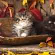 Persian kittens — Stock Photo