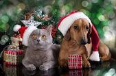 Britské kotě a pes jezevčík — Stock fotografie